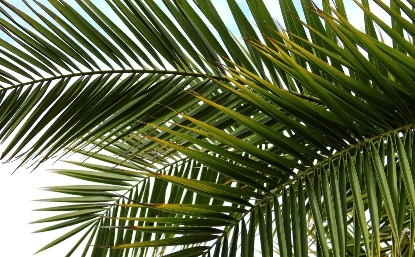 Palm Branches Of Victory And Triumph Or Olive Branches Of Peace
